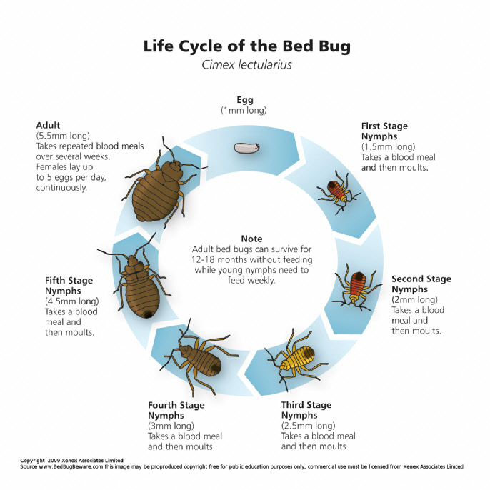 About Bedbugs